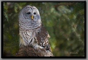 Barred_Owl_500