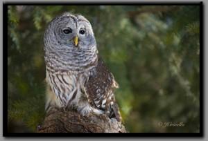 Barred_Owl_500