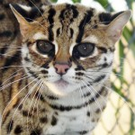 Asian_leopard_cat_01